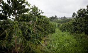 Producing Trees on Konawaena Farm