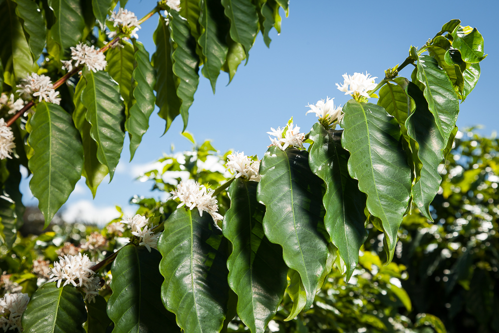Kona Coffee Trees in Hawaii