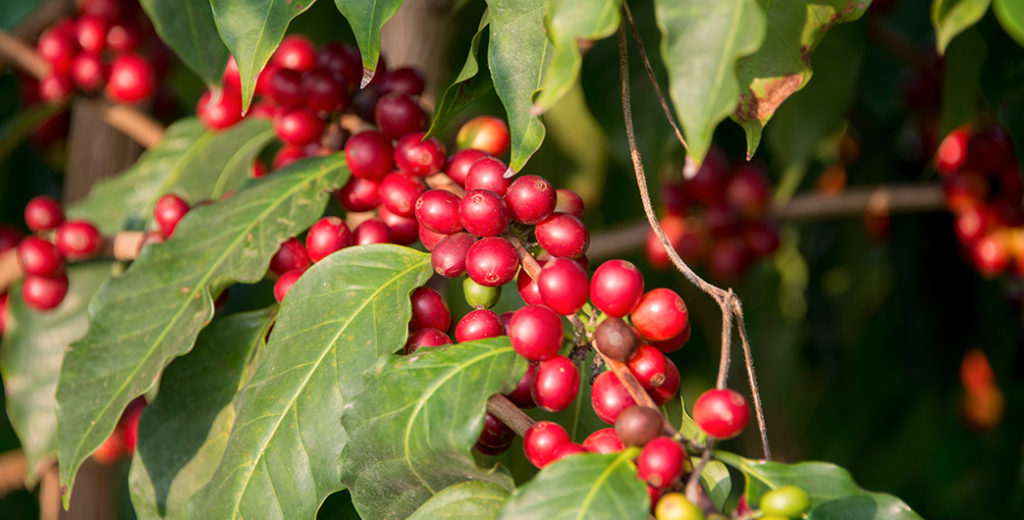 Coffee Cherries are Rich in Antioxidants