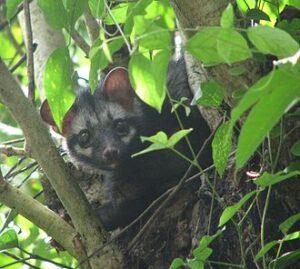 Palm Civets choose fresh-picked coffee cherries